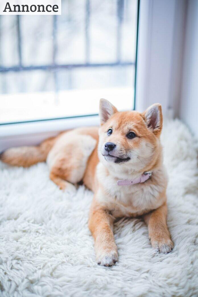 En hund på et uldskin